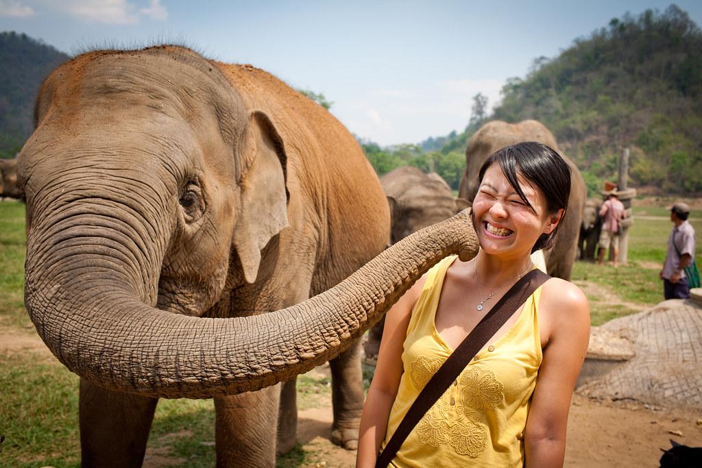 Thaiföldi elefántok