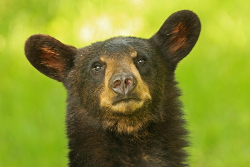 Jönnek a nagyfülű medvék